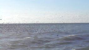 Grote troep van zeemeeuwen die over het overzees vliegen stock video