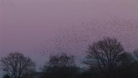Grote troep van zwarte vogelsstarlings in avondhemel Engeland stock video