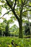 Grote tropische boom Royalty-vrije Stock Afbeelding