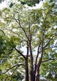 Grote tropische boom Royalty-vrije Stock Afbeeldingen