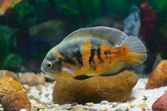 Grote tropische vissen in aquarium Royalty-vrije Stock Fotografie