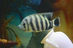 Grote tropische vissen in aquarium Stock Foto