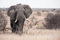 Grote Tusker Royalty-vrije Stock Afbeelding