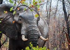Grote Tusker in de Regen Stock Foto's