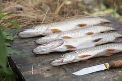 Grote vangst van vissen snoeken stock fotografie
