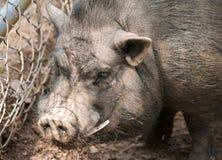 Grote varken/beer met slagtanden royalty-vrije stock fotografie