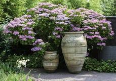 Grote vazen met de achtergrond van hydrangea hortensiahortensia Stock Afbeeldingen