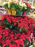 Grote vertoning van Poinsettia bij Markt stock afbeelding