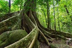 Grote vijgeboom Royalty-vrije Stock Afbeeldingen