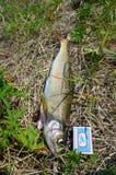 Grote vissen van het grayling van Baikal dichtbij het lucifersdoosje vergelijk Stock Afbeelding
