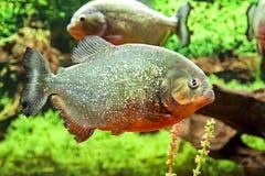 Grote vissenpiranha's in het aquarium als gevaar in aard stock foto