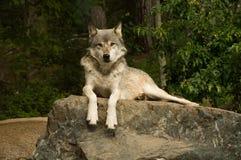 Grote vlakteswolf op rots Royalty-vrije Stock Afbeelding