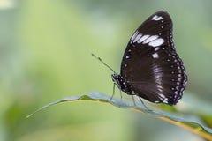 Grote Vlinder Eggfly Stock Afbeeldingen