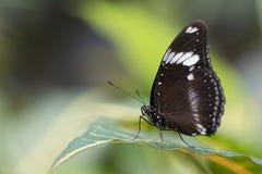 Grote Vlinder Eggfly Royalty-vrije Stock Foto