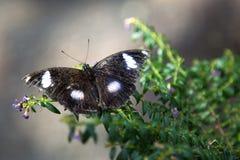 Grote Vlinder Eggfly Royalty-vrije Stock Afbeeldingen