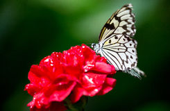 Grote vlinder op een bloem Stock Fotografie