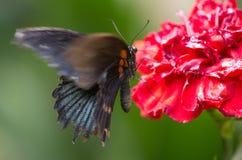 Grote vlinder op een bloem Stock Foto