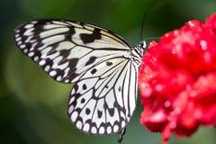 Grote vlinder op een bloem Stock Foto's