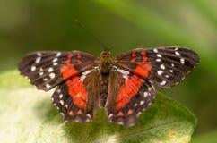 Grote vlinder op een verlof Stock Afbeelding
