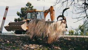 Grote volbloed- geit met reusachtige hoornen die gebladerte van een boom kauwen en twee voet, niet verre van Tbilisi, Georgië kri stock footage