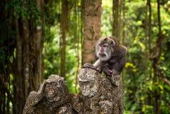 Grote volwassen catarrhini de Oude wereldzitting op het steencijfer van een aap in een tropisch bos, tropisch bos stock foto's