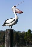 Grote volwassen pelikaan met wijd open miljard. royalty-vrije stock afbeelding