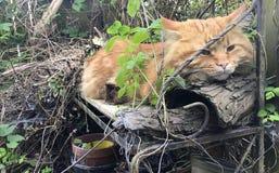Grote volwassen rode kat Maine Coon in middag in zonnige tuin royalty-vrije stock fotografie
