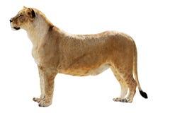 Grote vrouwelijke leeuw Stock Foto's