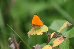 Large copper: very orange butterfly. Grote vuurvlinder Lycaena dispar / large copper: beautifull orange butterfly / fel oranje vlinder rustend op braam stock photography