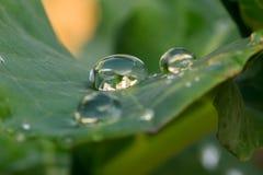 Grote waterdruppeltjes op een blad Stock Foto
