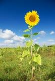 Grote weide van zonnebloemen. stock afbeelding