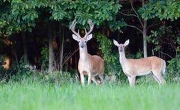 Grote whitetailbok en damhinde royalty-vrije stock foto