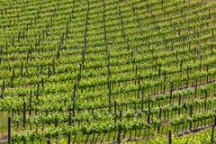 Grote wijngaard Royalty-vrije Stock Foto's