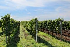 Grote wijngaard met lange lijnen Stock Foto