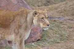 Grote wilde kat Stock Afbeeldingen