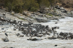 Grote Wildebeest-Migratie: dood en levend stock afbeeldingen