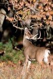 Grote wit-de steel verwijderde van hertenbok royalty-vrije stock afbeeldingen