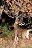 Grote wit-de steel verwijderde van hertenbok stock foto's
