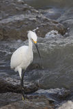 Grote Witte Aigrette Royalty-vrije Stock Afbeelding