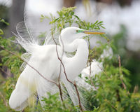 Grote Witte Aigrette Royalty-vrije Stock Afbeeldingen