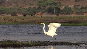 Grote Witte Aigrette, alba egretta, Volwassene die van Chobe-Rivier opstijgen, tijdens de vlucht, Okavango-Delta in Botswana, stock video