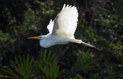 Grote witte aigrette die tegen gebladerte van de roekenkolonie vliegen, Florida Royalty-vrije Stock Fotografie