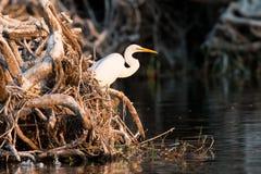 Grote witte aigrette die zich door rivierrand bevinden Stock Foto