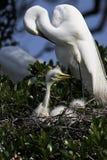 Grote Witte Aigrette met Kuikens stock foto's