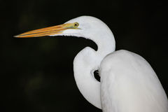Grote Witte Aigrette - Portret Stock Afbeelding