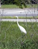 Grote Witte Aigrette of Reiger Stock Foto