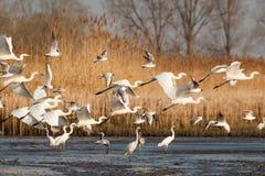 Grote Witte Aigrettes - alba Ardea Royalty-vrije Stock Foto