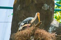 Grote witte Aziatische ooievaarsvogel die in nest blijven stock fotografie