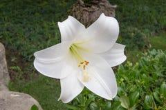 Grote witte bloesem Royalty-vrije Stock Afbeelding