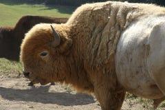 Grote witte buffels Stock Afbeeldingen